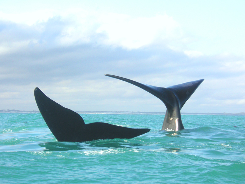 Whales at Agulhas